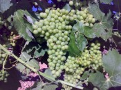 PROTOS HAS THE BEST VERDEJO GRAPES CLONES SELECTIONS IN ITS VINEYARDS