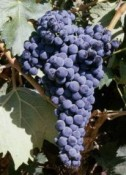 PROTOS OFFERS GRAPE' S TASTING DURING THE HARVEST
