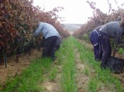BODEGAS PROTOS GENERATES WORK DURING THE HARVEST FOR MORE THAN HALF THOUSAND PEOPLE