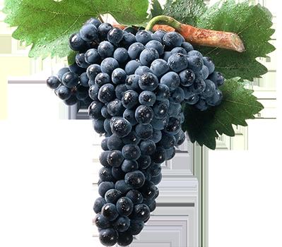 Uva tempranillo, la variedad principal de Ribera del Duero