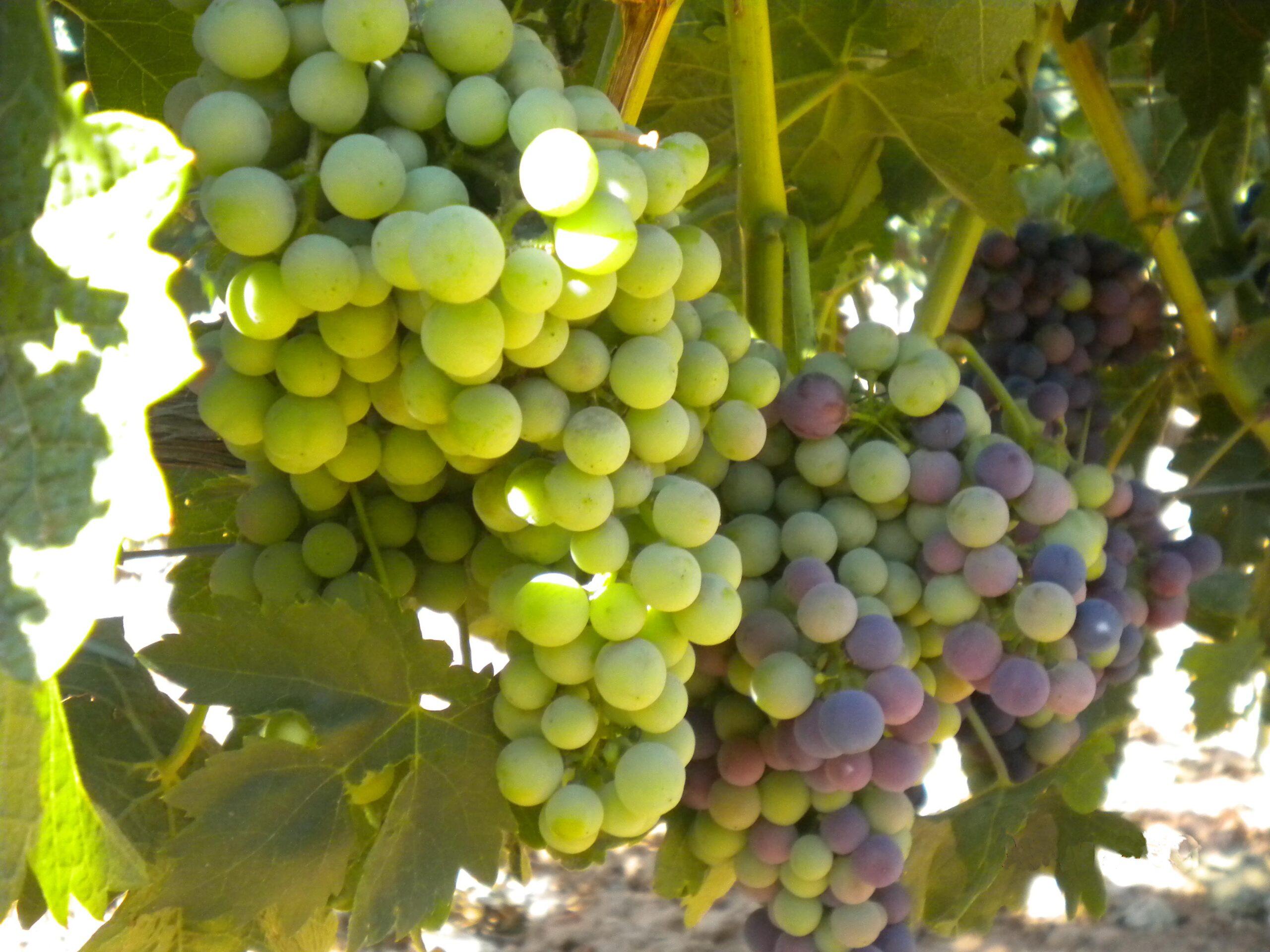 El envero: primera señal de madurez de la uva